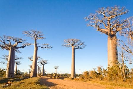 Arbres de baobabs de Madagascar, dans la savane de Madagascar