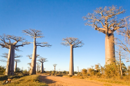 Baobabs trees from Madagascar in the savannah of Madagascar photo