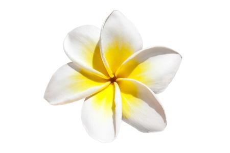 Fleur de frangipanier isolée sur fond blanc Banque d'images