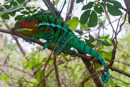 africa chameleon: Panther chameleon in the north of Madagascar Stock Photo