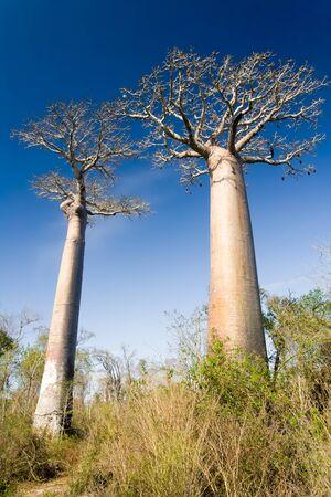 Baobab forest near Belo sur Mer, western Madagascar photo