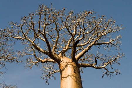 Baobab near Belo sur Mer, western Madagascar Stock Photo - 12709649