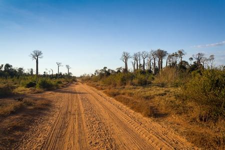adansonia: Baobabs road between Morondava and Belo sur Tsiribihina, western Madagascar Stock Photo