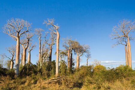 adansonia: Baobabs between Morondava and Belo sur Tsiribihina, western Madagascar