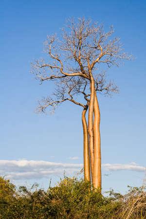 Baobabs between Morondava and Belo sur Tsiribihina, western Madagascar photo