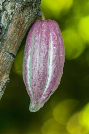 Cocoa pod from Ambanja, Madagascar photo