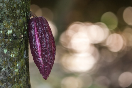 Cocoa pod from Ambanja, Madagascar photo
