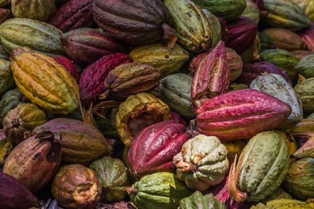 Cocoa pods from Ambanja, Madagascar Banque d'images