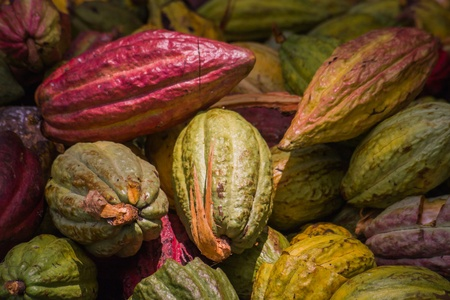 Cocoa pods from Ambanja, Madagascar Stock Photo - 12709875