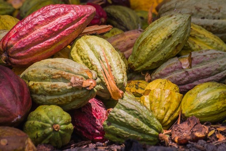 Cocoa pods from Ambanja, Madagascar photo