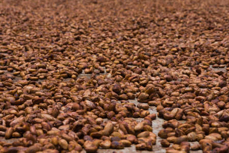 Cocoa beans from Ambanja, Madagascar photo