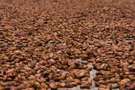 cocoa fruit: Cocoa beans from Ambanja, Madagascar Stock Photo