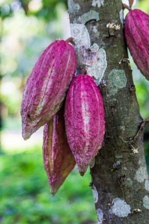cocoa fruit: Cocoa pods from Ambanja, Madagascar Stock Photo