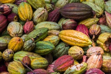 madagascar: Cocoa pods from Ambanja, Madagascar Stock Photo