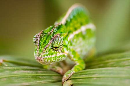 endemic: Panther chameleon, endemic reptile of Madagascar Stock Photo