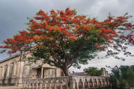 flamboyant: Delonis Regia (Flamboyant) front of the Catholic Church of Ambilobe, northern Madagascar