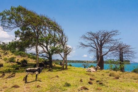 adansonia: Adansonia suarezensis (Suarez Baobab) in the Antsiranana bay, north of Madagascar