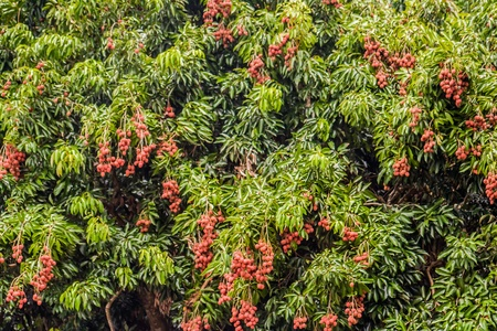 litschi: Lychees from Diego Suarez, Northern Madagascar Stock Photo