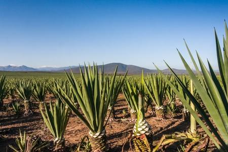 agave: Sisal Plantation cerca de Fort Dauphin (Tolagnaro), el sur de Madagascar