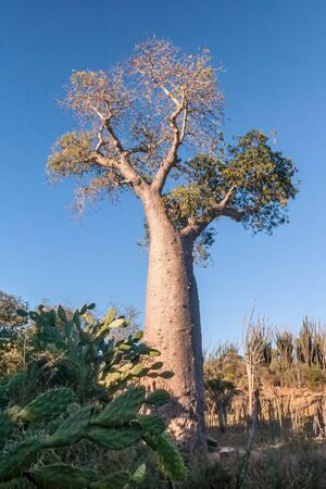 adansonia: Baobab tree near Fort Dauphin (Tolagnaro), southern Madagascar