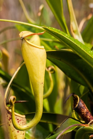 fort dauphin: Nepenthes, carnivorous plant endemic to southern Madagascar