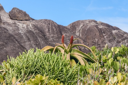 fort dauphin: Aloe vera in bloom in southern Madagascar