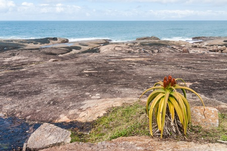 anosy: Aloe vera in bloom in southern Madagascar