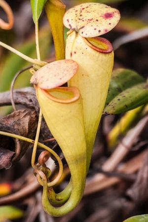 plants species: Nepenthes, pianta carnivora endemica nel sud del Madagascar Archivio Fotografico