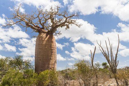 Baobab near Andavadoaka, western Madagascar Stock Photo - 13345656