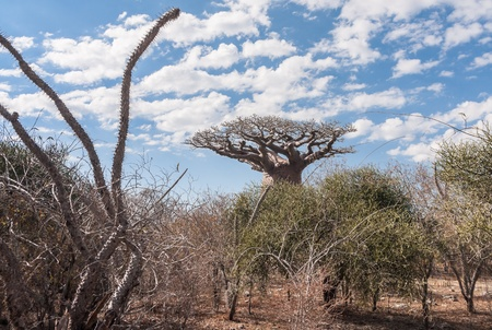 africa jungle: Baobab near Andavadoaka, western Madagascar