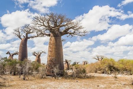 Baobabs near Andavadoaka, western Madagascar photo