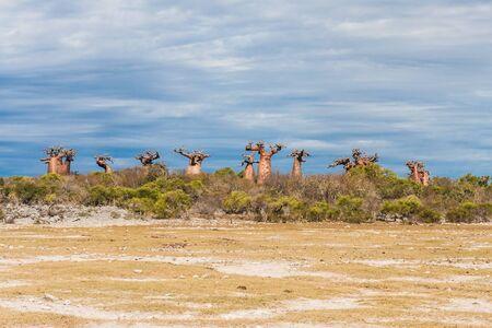 Baobabs near Andavadoaka, western Madagascar Stock Photo - 13345659