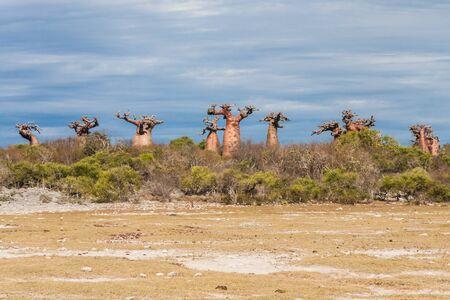 adansonia: Baobabs near Andavadoaka, western Madagascar