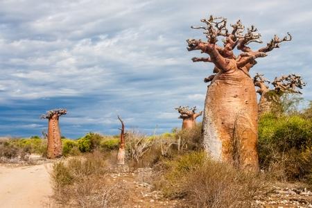 Baobabs near Andavadoaka, western Madagascar Stock Photo - 13345652