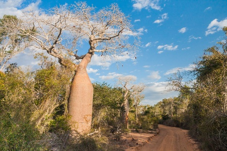 adansonia: Baobab near Andavadoaka, western Madagascar
