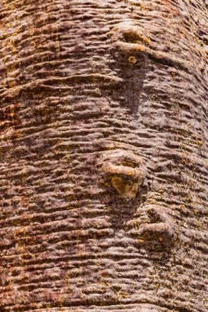 adansonia: Trunk of baobab in southwestern Madagascar
