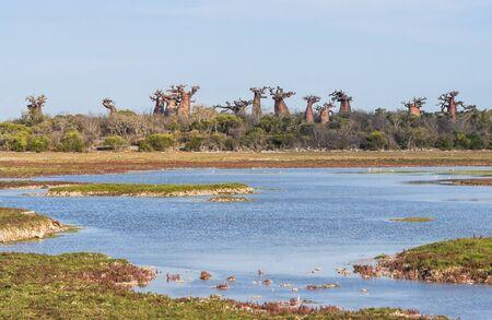 adansonia: Baobabs forest near Andavadoaka, western Madagascar