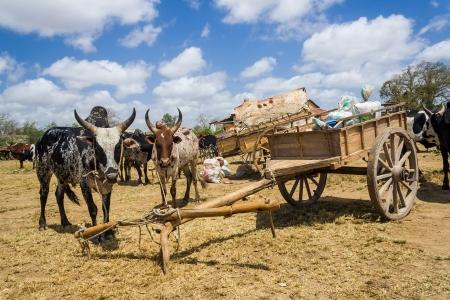 Zébus et des chariots dans le sud de Madagascar Banque d'images