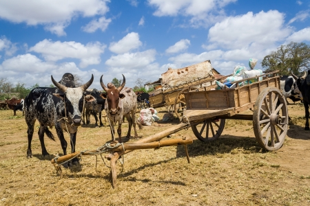 Zebus and carts in southern of Madagascar photo