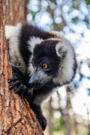 Black and white lemur Vari (ruffed lemur)  in the forest of Madagascar photo