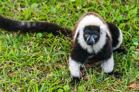 Brown and white lemur Vari (ruffed lemur)  in the forest of Madagascar photo