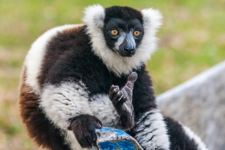 Brown and white lemur Vari (ruffed lemur)  in the east of Madagascar photo