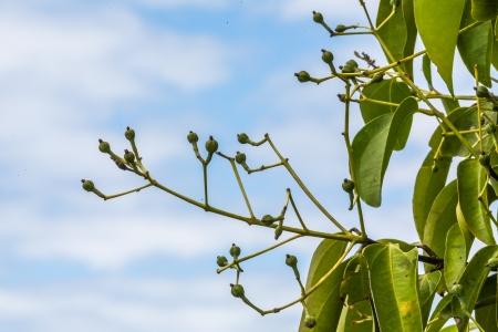 clove: Cloves on tree from Madagascar Stock Photo