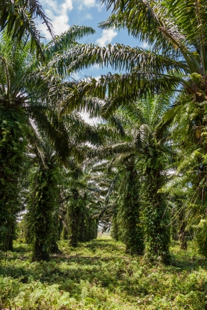 Oil palm plantation in eastern Madagascar photo