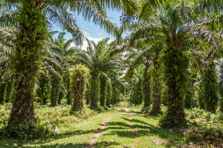 forest products: Oil palm plantation in eastern Madagascar