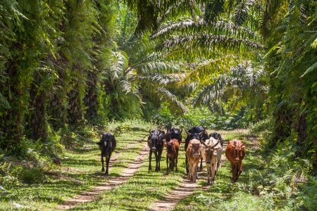 Herd of zebus in the lush of eastern Madagascar photo