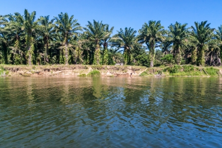 Oil palm plantation near the river in eastern Madagascar photo