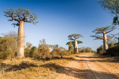 Baobab trees in southwestern madagascar photo