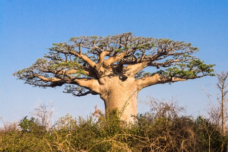 baobab: Baobab tree from Madagascar Stock Photo