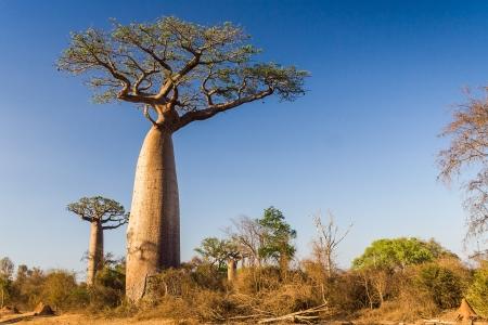 Baobab de Madagascar Banque d'images